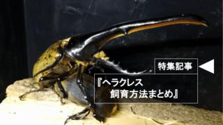 ヘラクレスオオカブトの飼育方法